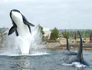 life-sized orca